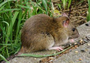 Szczury jakie niosą zagrożenia